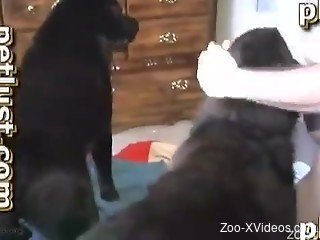 Gorgeous black doggy impaled a horny man zoophile from behind